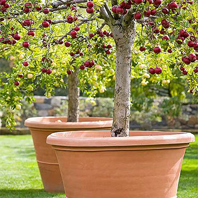 planting fruit trees